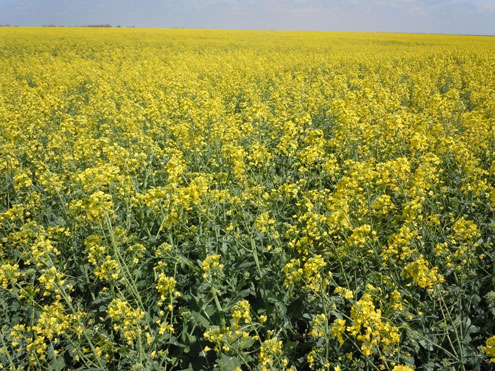 Winter canola meetings crop insurance applications and hopefully a yellow blossoms reveal a field of winter canola when the crop is maturing in the spring from these flowers grow pods with tiny round brown seed with at mightylinksfo