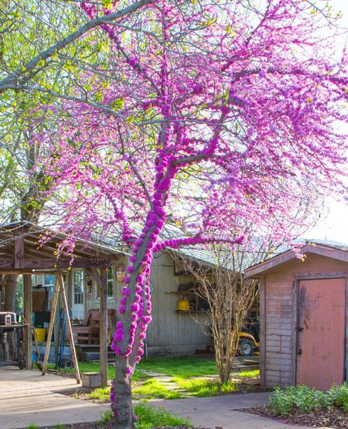 Local Redbud Tree Displays Unusual Blooms Printed From North