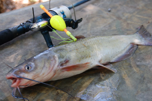 When cats go shallow north texas e news for Best time to fish for catfish