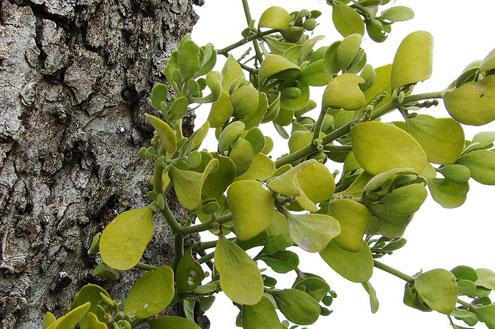 Tree Health Time To Remove Mistletoe North Texas E News